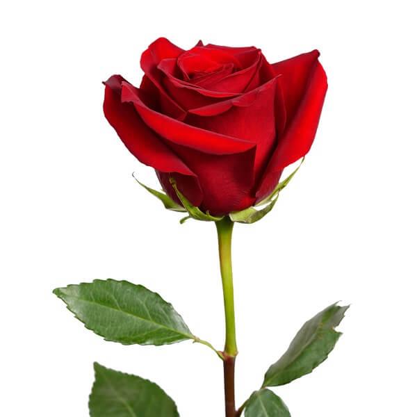 Tamsiai raudona rožė