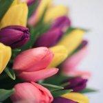 Įvairių spalvų tulpių puokštė