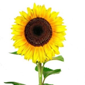 Saulėgrąžos skintos gėlės