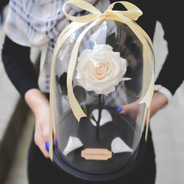 Balta stabilizuota rožė po stikliniu kupolu