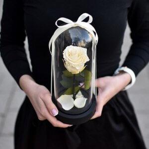 Stabilizuota mieganti kreminė rožė po stiklu