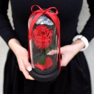 Raudona stabilizuota rožė po gaubtu