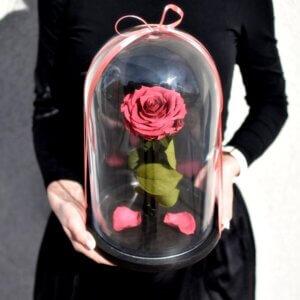 вишневая спящая роза под стеклом
