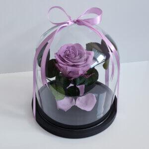 Mieganti vidutinė alyvinė rožė po stiklu