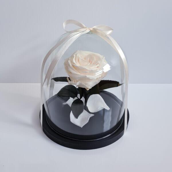 Mieganti vidutinė kreminė rožė po stiklu