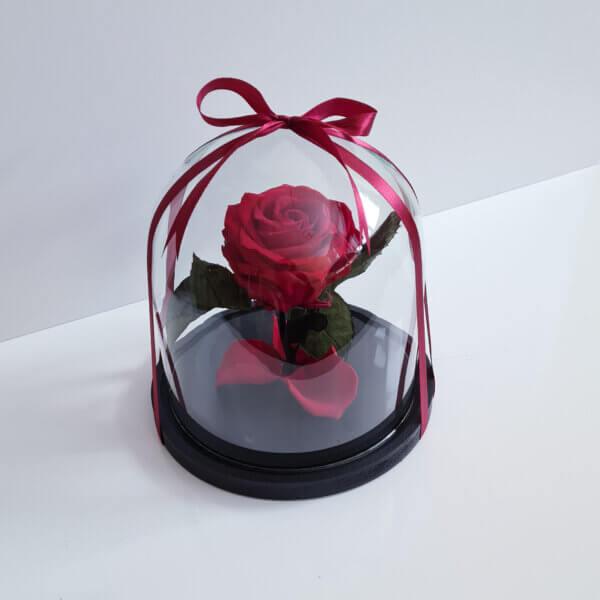Mieganti vidutinė raudona rožė po stiklu