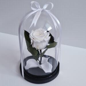 Mieganti maža balta rožė po stiklu