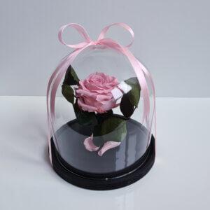 Mieganti vidutinė rožinė rožė po stiklu