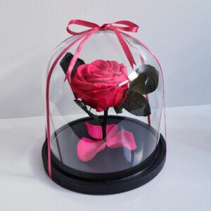 Mieganti vidutinė ryškiai rožinė rožė po stiklu